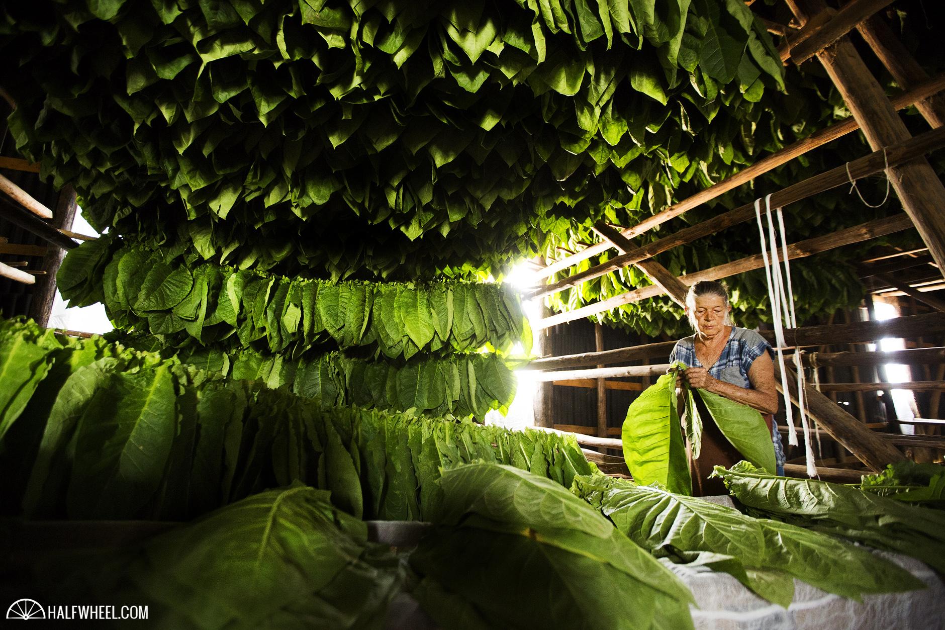 Festival del Habano XIX Day 2 Hector Luis Prieto Farm Worker In Curing Barn